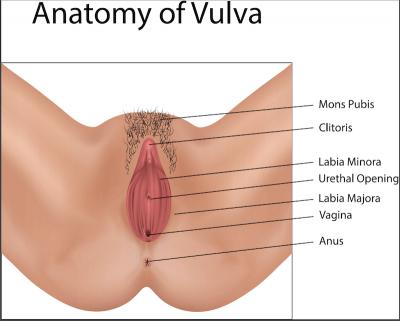 Anatomy of vulva